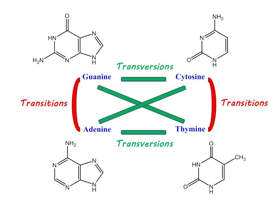 Riparazione del DNA e Mutagenesi nel cancro