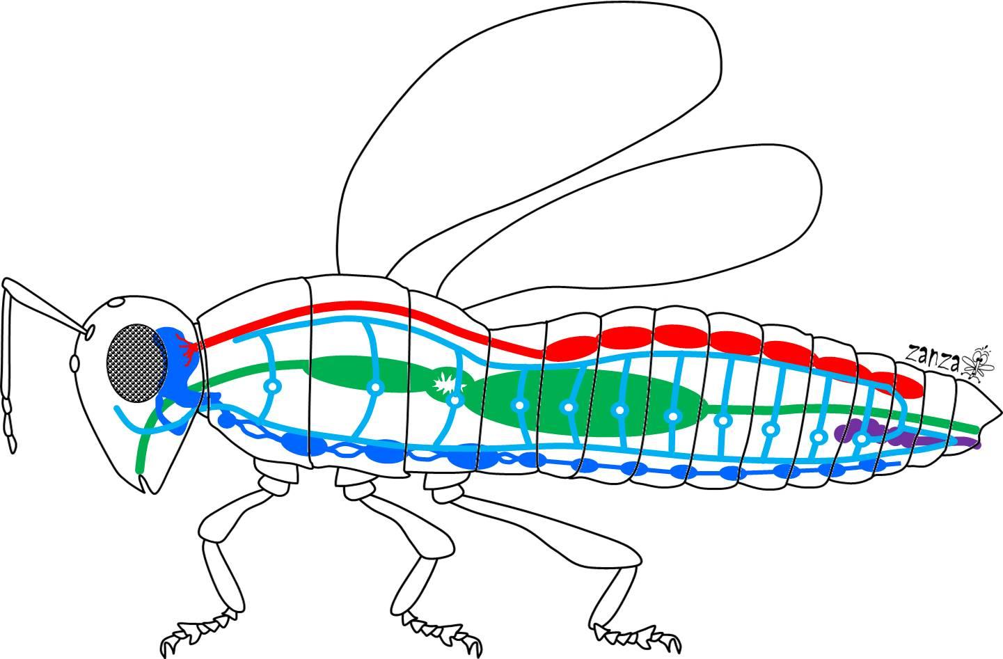 Anatomia degli insetti